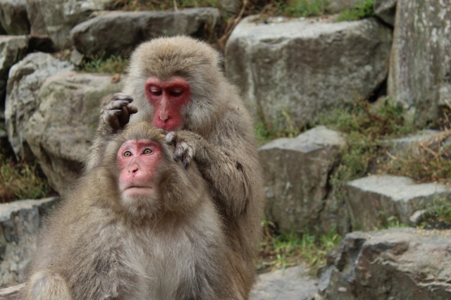 Snow monkeys in Monkey Park, near Nagano, grooming and hanging out.